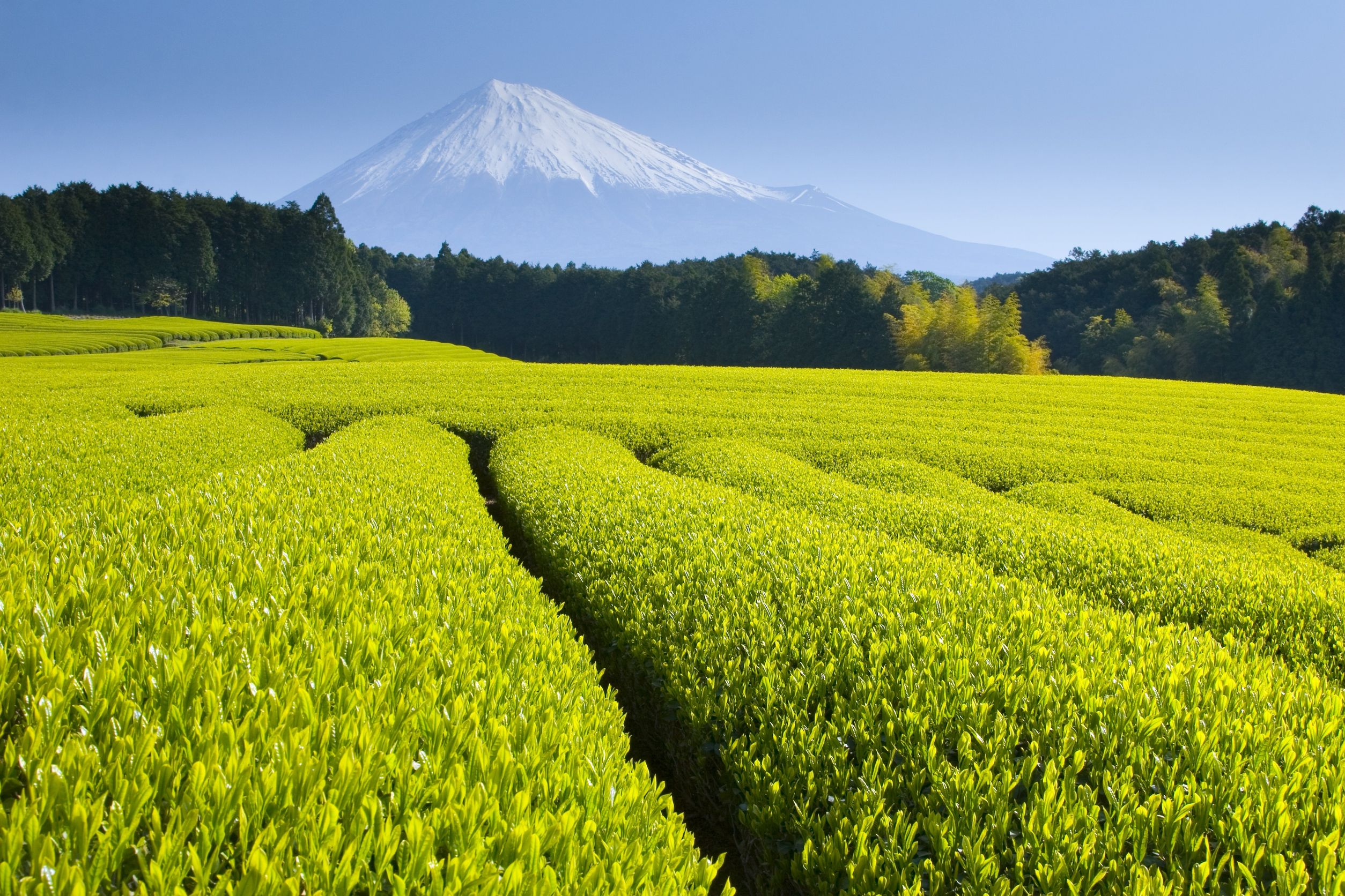 4264912 - green tea fields spread out below mt. fuji
